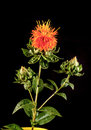 Safflower carthamus tinctorius l is a highly branched herbaceous thistle like annual plant it commercially cultivated for Royalty Free Stock Photo