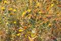 Safflower flowers on the field