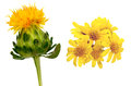 Safflower and golden fleece photographed isolated in a white background Stock Image