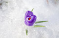 Saffron crocus blue spring bloom closeup in snow first flower between last Stock Image