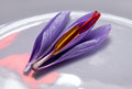 Saffron Crocus Flower, Dissected Stock Photography