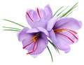 Saffron flowers Royalty Free Stock Photo
