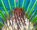 Saga palm inside the center of a plant shows the new leaf branches in the making Stock Image