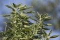 Sage bush Royalty Free Stock Photo