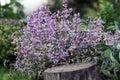 Sage bush blooming Royalty Free Stock Photo