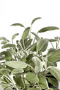 Sage bush vertical Royalty Free Stock Photo