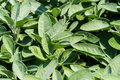 Sage close up of fresh herbal plant Royalty Free Stock Photography