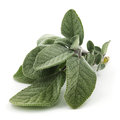 Sage close up of plant of mint family against white background Royalty Free Stock Photo