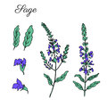 Sage flower vector isolated on white background, Hand drawn ink doodle sketch sage healing herb, colorful illustration