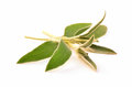 Sage fresh sprigs of aromatic herb on white background with room for text Stock Images