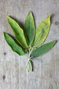 Sage fresh on wooden table Royalty Free Stock Photo