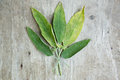 Sage fresh on wooden table Royalty Free Stock Photography