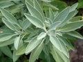 Sage herb (Salvia officinalis) Royalty Free Stock Photo