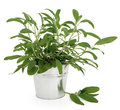 Sage herb plant in an aluminium pot over white background salvia Royalty Free Stock Images