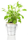 Sage herb plant growing in a distressed pewter pot over white background salvia Royalty Free Stock Photos