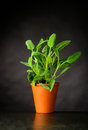 Sage Plant Growing in Pot Royalty Free Stock Photo