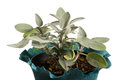 Sage plant in a pot Royalty Free Stock Photography