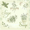 Sage salvia clary sage herb or or and plant background packaging calligraphy Royalty Free Stock Images