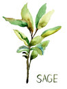 Sage, watercolor illustration Royalty Free Stock Photos