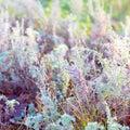 Sagebrush Royalty Free Stock Photo