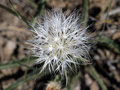Sagebrush False Dandelion Seedhead Royalty Free Stock Photo