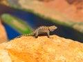 Sagebrush lizard on the rock colorful at colorado horshoe bend arizona usa Stock Photography
