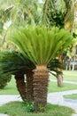 Sago cycas Royalty Free Stock Photo