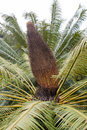 Sago cycas on its tree Royalty Free Stock Photography