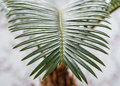 Sago palm beautiful leaf of green Stock Images