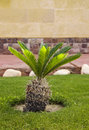 Sago palm tree in garden green Royalty Free Stock Photography