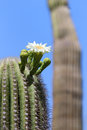 Saguaro blossom flower blooming in arizona Stock Photography