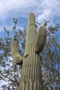 Saguaro Cactus in Arizona Stock Photo