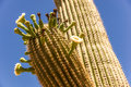 Saguaro Cactus Blossoms Royalty Free Stock Photo