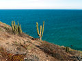 Saguaro cactus and blue sea baja california calm mexico Stock Images