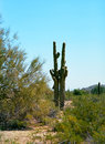 Saguaro cactus cereus giganteus in arizona desert Royalty Free Stock Images