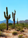 Saguaro cactus cereus giganteus in arizona desert Royalty Free Stock Photos
