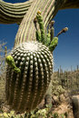 Saguaro cactus close up of the arm of a as it prepares to bloom in the late desert spring Stock Photo