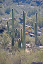 Saguaro cactus in desert Royalty Free Stock Image