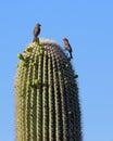 Saguaro Cactus Royalty Free Stock Photo