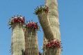 Saguaro cactus with red-fleshed fruit against a blue sky Royalty Free Stock Photo