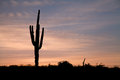 A saguaro cactus stands silhouetted against an arizona sunrise Royalty Free Stock Images