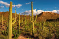 Saguaro Cactus at sunset in Saguaro National Park near Tucson, Arizona. Royalty Free Stock Photo