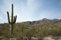 Saguaro landscape cacti dot the of tucson s sabino canyon Stock Image