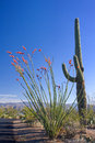 Saguaro and Ocotillo Cactus Royalty Free Stock Photo