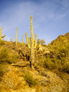 Saguaro in sunlight hillside of national park arizona Stock Images