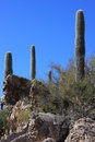 Saguaros  Stock Photo