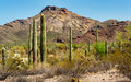 Saguaros in the Organ Pipe Cactus Stock Photo
