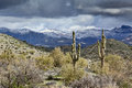Saguaros and snowy mountains towering in the desert backed by the snow covered superstition in arizona Royalty Free Stock Photo