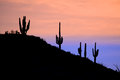 Saguaros in the sunrise saguaro cactus stand silhouetted against an arizona sunset Stock Photo