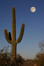 Saguarro cactus a in the early morning light under a full moon Royalty Free Stock Photography